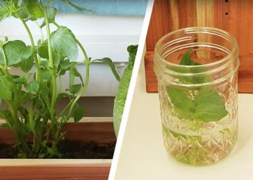 Un jardin à l'intérieur! Ces légumes repoussent à partir d'eux-mêmes et vite en plus!