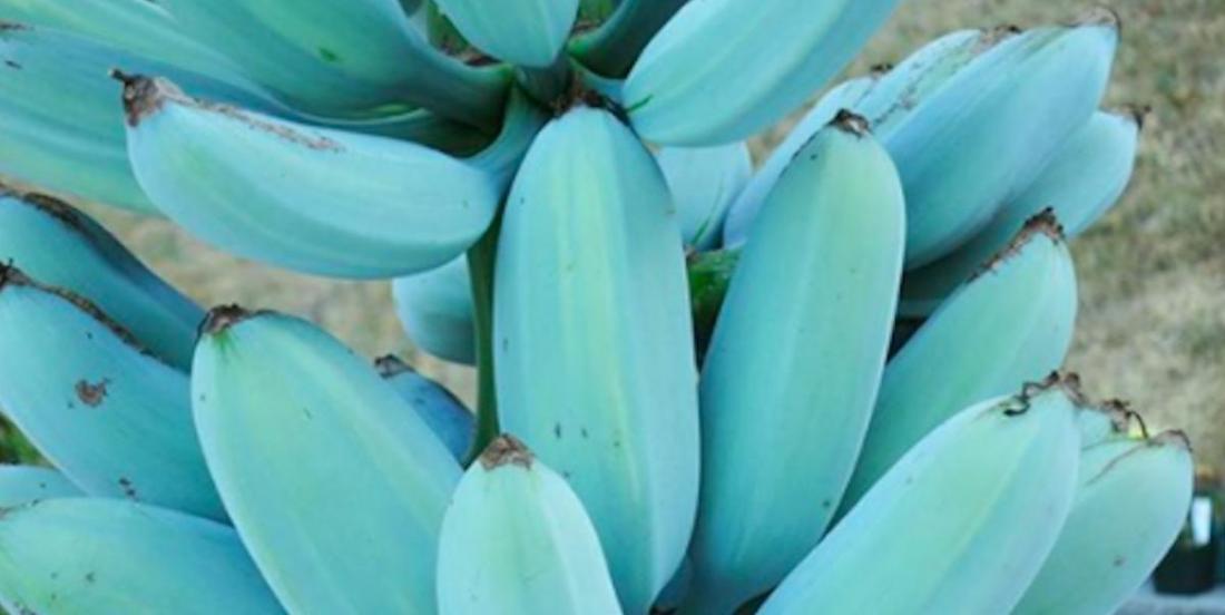 Sur Amazon, on peut acheter des bananiers qui donnent des fruits… bleus!