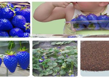 Intrigant ? Voici comment épater vos amis cet été en cultivant des fraises bleues... wow!