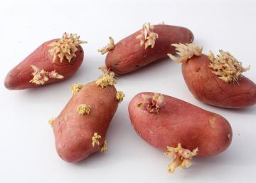 Conservez vos pommes de terre plus de 8 semaines sans voir apparaître de GERMES