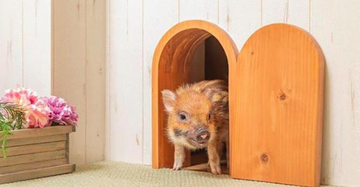 Un café avec des cochons nains a ouvert ses portes à Tokyo